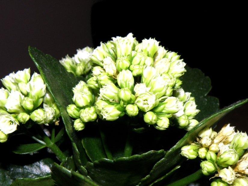 a Kalanchoe plant